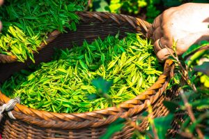 nootropic-ingredients-green-tea