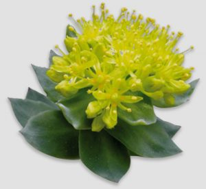 Rhodiola rosea, a stress booster, included in Centrapeak